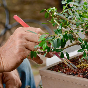 hands pruning bonsai
